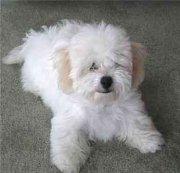 Bishon Frise Dog