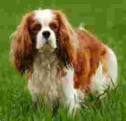 Cavalier King Charles Dog