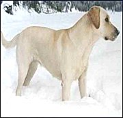 Labrador Retreiver Dog