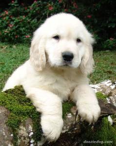 golden-retriever-puppy-8