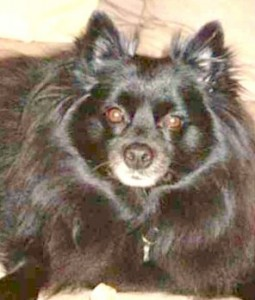 Pucci the Pomeranian