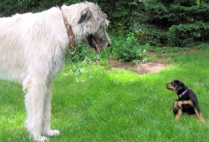A Rotweiller puppy looks very tiny next to a Wolfhound