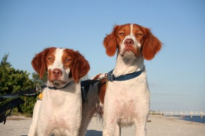 Pair of Britanny Spaniels