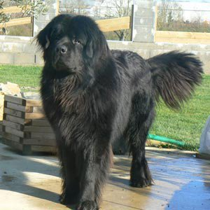 Black Mountain Dog