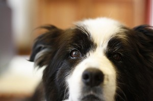 Close up of Border Collie