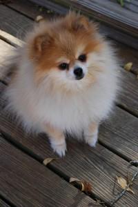 Tiny Pomeranian