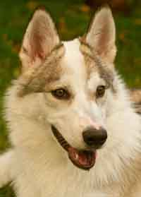 Cloud the wolfdog