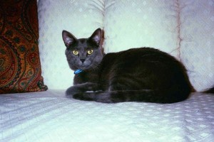 Risha-Russian Blue cat