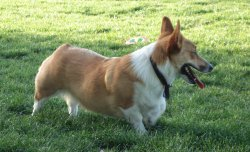 Yoda - Welsh Corgi